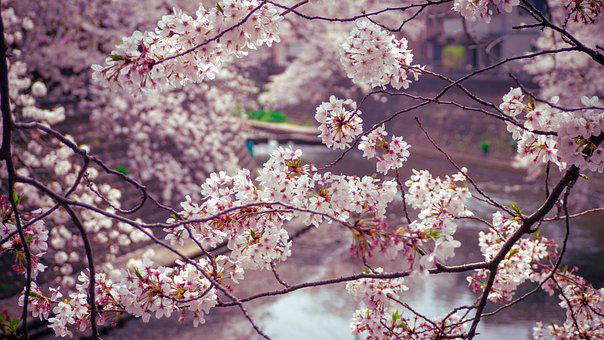 Japanese Cherry Blossoms, Flowers, Trees, Branches
