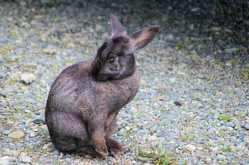 Bunny, Rabbit, Hare, Animal, Nature, Wildlife, Ears