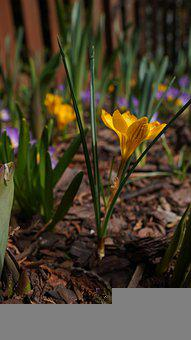 Crocus, Flower, Plant, Yellow Crocus, Yellow Flower