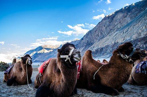 Camels, Valley, Mountains, Himalaya, Animals, Mammals