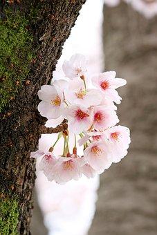 Cherry Blossom, Flowers, Spring, Petals, Blossom, Bloom