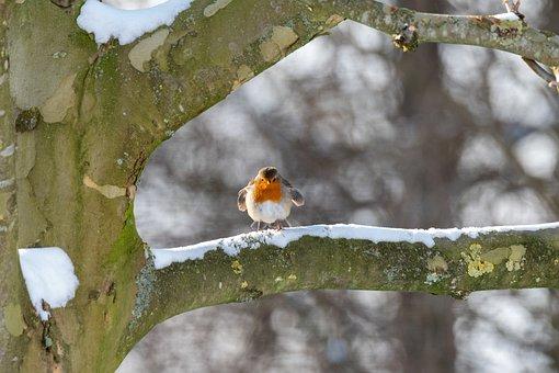 Robin, Branch, Snow, Bird, Songbird, Animal, Small Bird