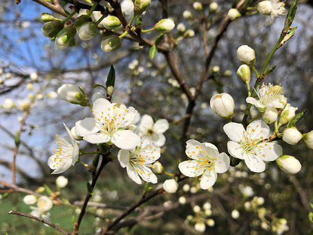 Apple Blossoms, Flowers, Buds, Spring, White Flowers