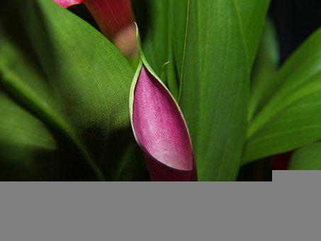 Calla Lily, Flower, Plant, Leaves