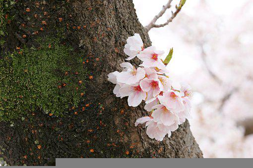 Cherry Blossom, Flowers, Spring, Trunk, Pink Flowers