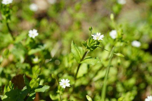 Chickweed, Flowers, Plant, Chickenwort, Winterweed