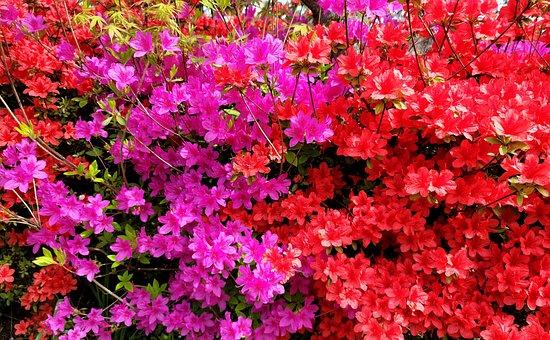 Flower, Azalea, Color, White, Bright, Spring