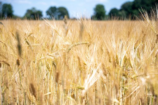 Wheat, Field, Farm, Cereal Grains, Spikelets, Crop