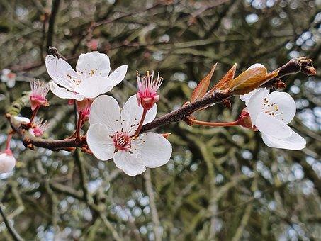 Plum Blossom, Flowers, Spring, Branch, Plum Flowers