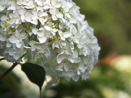 Hydrangea, Flowers, Plant, White Flowers