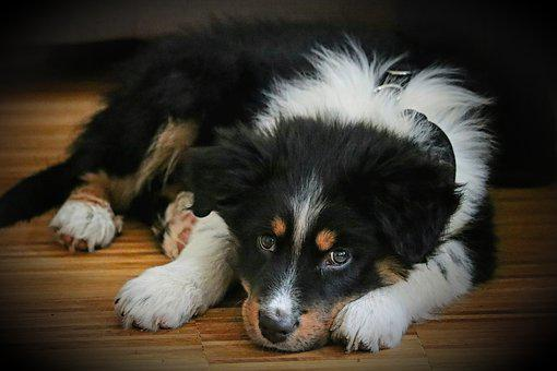 Australian Shepherd, Dog, Pet, Animal, Young Dog