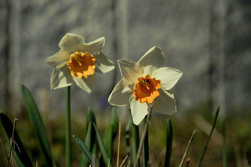 Daffodil, Flowers, Plant, Narcissus, Petals, Bloom