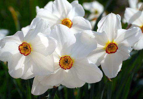 Daffodils, Flowers, Plant, Petals, White Flowers