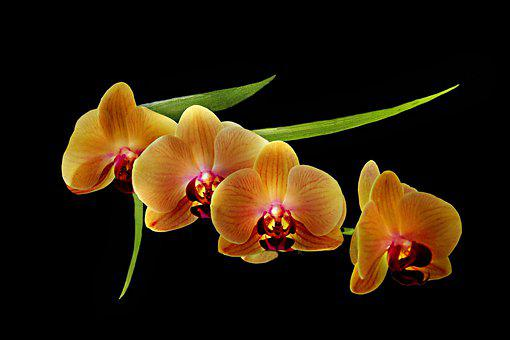 Orchids, Flowers, Plant, Petals, Bloom, Tropical