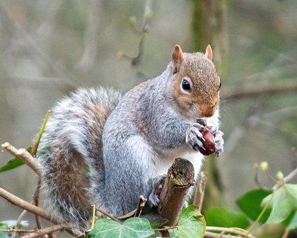 Squirrel, Grey Squirrel, Rodent, Nature, Wildlife