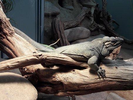 Rhinoceros Iguana, Wood, Terrarium, Iguana, Animal