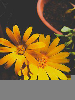 Marigold, Flowers, Plant, Yellow Flowers