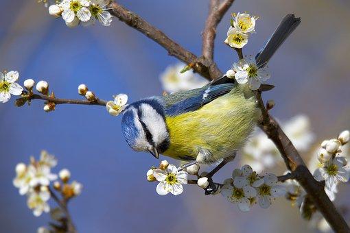 Blue Tit, Bird, Flowers, Branch, Perched, Tit, Animal