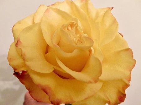Yellow, Rose, Bloom, Floral, Blossom, Garden, Fragrance