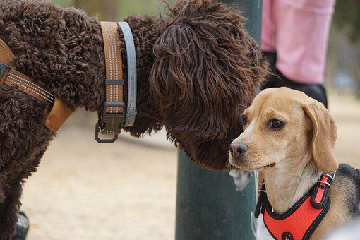 Dogs, Pets, Animals, Domestic Dogs, Mammals, Canine