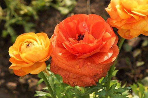 Buttercup, Flowers, Dew, Wet, Droplets, Ranunculus