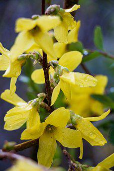 Forsythia, Flowers, Dew, Wet, Droplets, Yellow Flowers