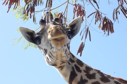 Giraffe, Animal, Head, Zoo, Mammal, Wild Animal