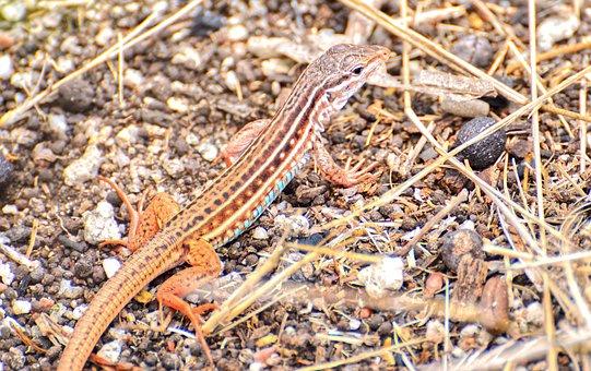 Lizard, Animal, Ground, Wildlife, Reptile, Wild, Fauna
