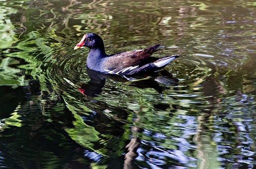 Moorhen, Bird, Lake, Fowl, Marsh Hen, Water Bird