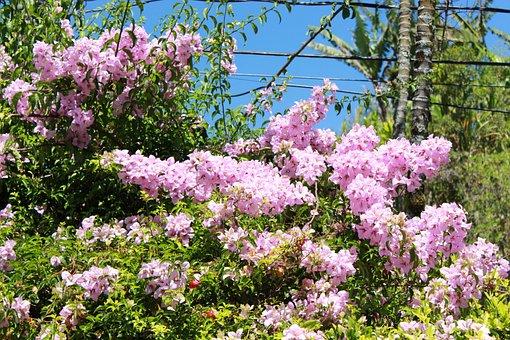 Bougainvillea, Flowers, Plant, Pink Flowers, Petals