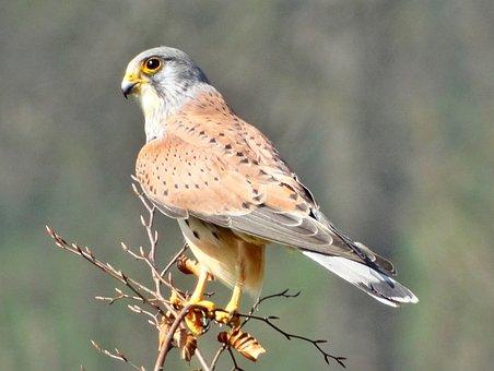 Kestrel, Falcon, Male, Bird Of Prey, Raptor, Bird