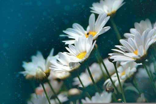Daisy, Flowers, Plant, White Flowers, Petals, Buds