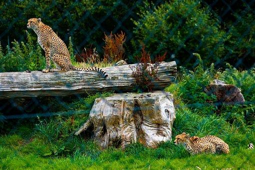 Cheetah, Animals, Zoo, Wildlife, Mammals, Carnivores