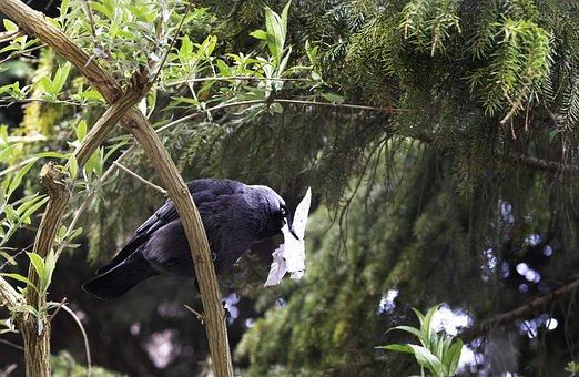 Crow, Jackdaw, Perched, Branch, Bird, Corvidae, Animal