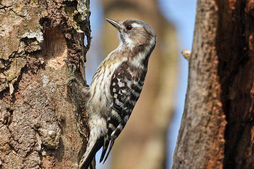 Pygmy Woodpecker, Bird, Animal, Trunk