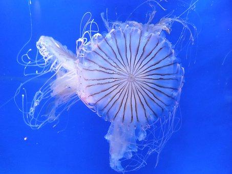 Jellyfish, Animal, Underwater, Sea Jelly, Cnidaria