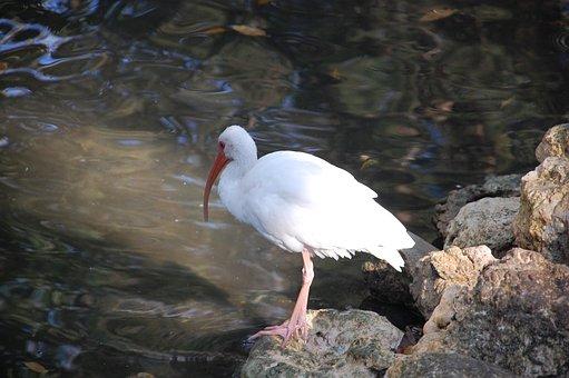 White Ibis, Bird, Animal, Ibis, Wader, Wildlife