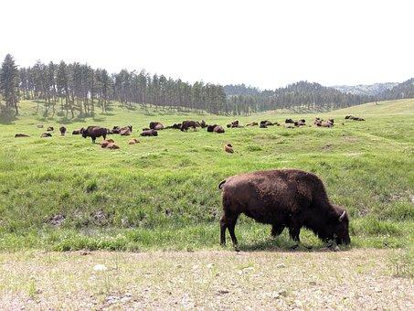Bison, Animals, Pasture, Herd, Buffalo, Mammals