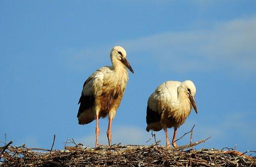 Storks, Birds, Nest, Animals, Wading Birds, Wildlife