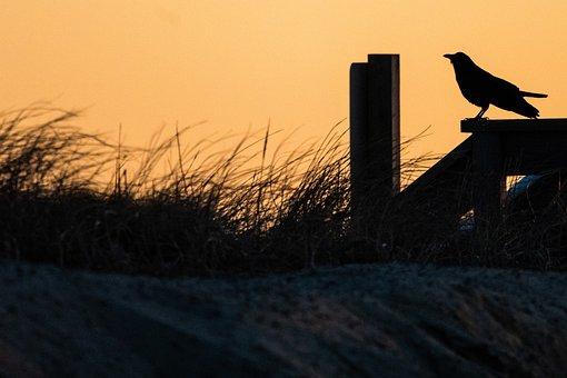 Crow, Beach, Grass, Sand, Beachgrass, Marram Grass