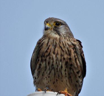 Kestrel, Bird, Animal, Falcon, Bird Of Prey, Raptor