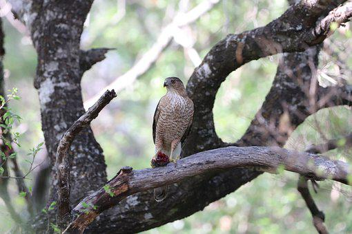Hawk, Bird, Branch, Perched, Raptor, Red-tailed Hawk