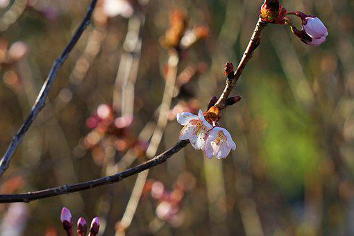 Cherry Blossom, Flowers, Spring, Buds, Bloom, Blossom