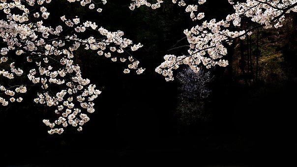 Cherry Blossoms, Flowers, Night, Dark, White Flowers