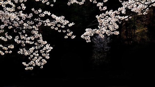 Cherry Blossoms, Flowers, Night, Dark, White Flowers