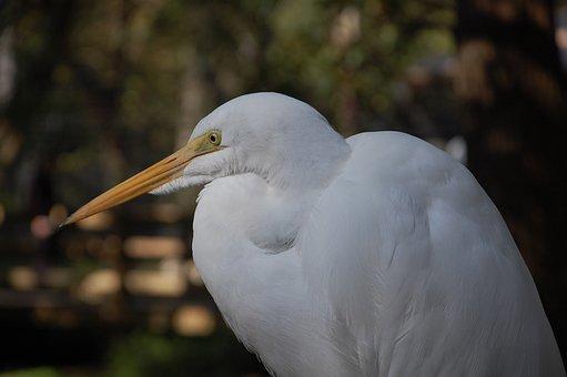 Egret, Bird, Animal, Great Egret, Heron, Wildlife