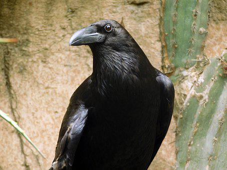 Raven, Bird, Animal, Crow, Wildlife, Wild, Feathers