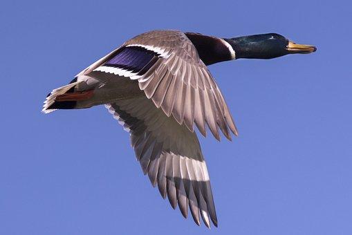 Duck, Bird, Flying, Sky, Waterfowl, Water Bird