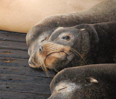 Seals, Animals, Sleeping, Nap, Head, Snout, Whiskers