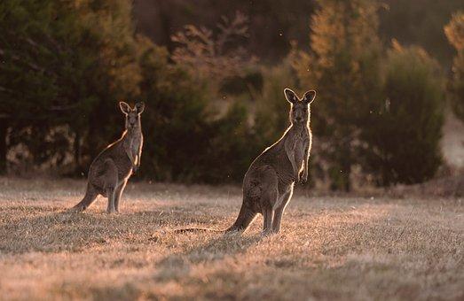 Kangaroos, Animals, Field, Wildlife, Marsupials